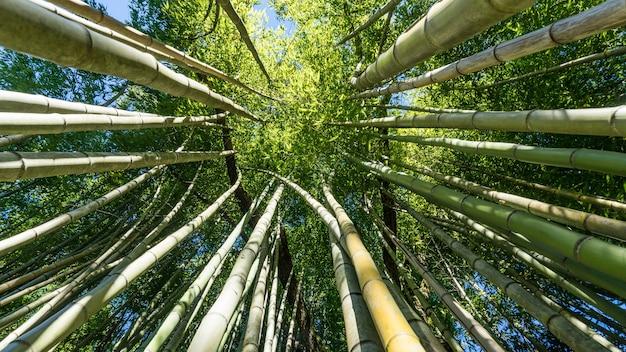 Bamboebos onderaanzicht, arboretum in sukhum, abchazië.