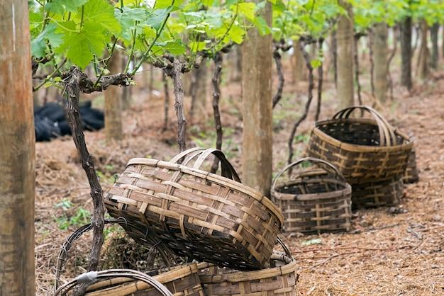 Bamboemanden die in de te oogsten wijnstok hangen