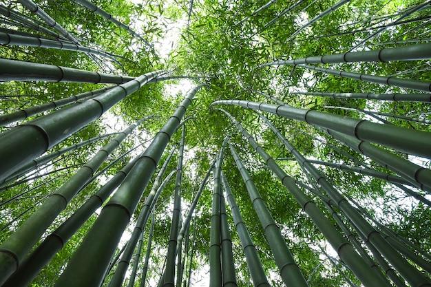 Bamboo bos.