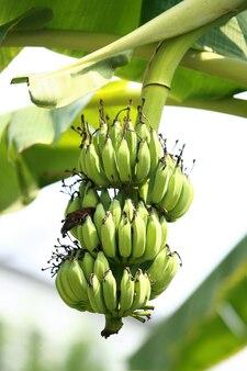 Banaan aan de bananenboom in de tuin
