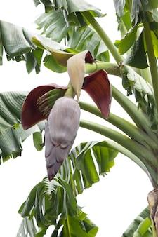 Banaanbloem met fruit