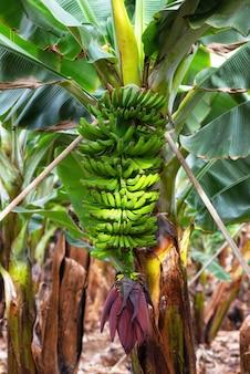 Banaanbos bij de banaanaanplanting