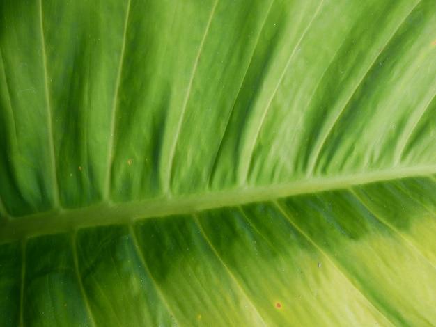 Bananen blad textuur achtergrond