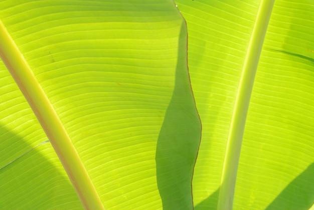 Bananen bladeren