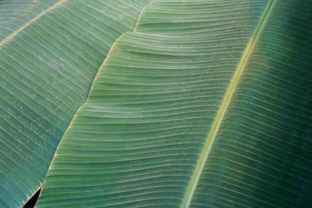 Bananenblad close-up textuur tropisch bananenblad in tropisch jungleklimaat foto van hoge kwaliteit