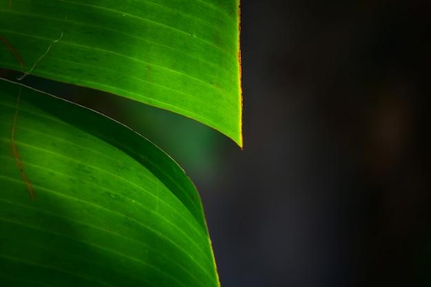 Bananenblad met zwarte natuur achtergrond