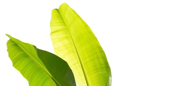 Bananenbladeren op witte achtergrond.