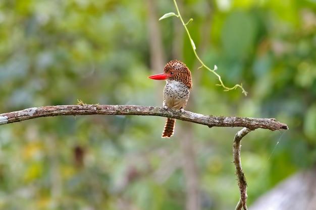 Banded kingfisher lacedo pulchella mooie vrouwelijke vogels van thailand zitstokken op de boom