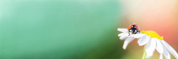 Banner. kleine rode lieveheersbeestje op een daisy flower close-up. ruimte voor tekst