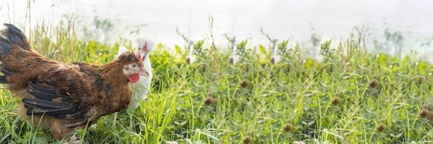 Banner twee schattige bruine en witte kippen grazen op de boerderij en knabbelen aan gras. pluimvee, landbouw, boerderij, fokken van vogels. kippenvlees, legkippen, eieren, gezonde natuurlijke voeding. veeteelt, veeteelt.