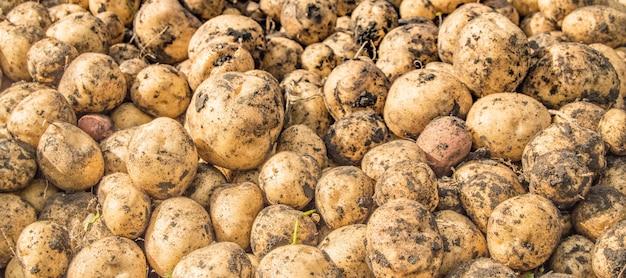 Banner, verse biologische bruine ongeschilde aardappelen op de versmarkt, achtergrond. aardappeltextuur, voedselachtergrond.