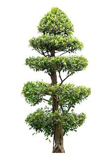 Banyanboom voor tuindecoratie op wit wordt geïsoleerd dat
