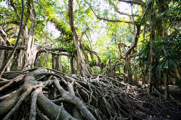 Banyanboomwortel bij het lentebos van de kleine amazone of het sang nae-kanaal, phang nga, thailand