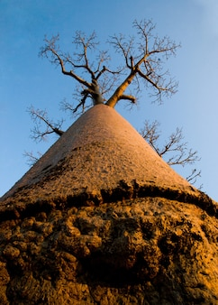 Baobab op blauwe hemel als achtergrond in madagaskar