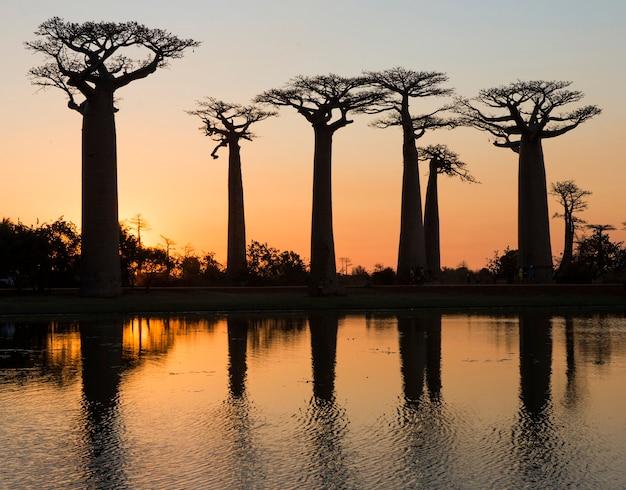 Baobabs bij zonsopgang in de buurt van het water met reflectie in madagaskar