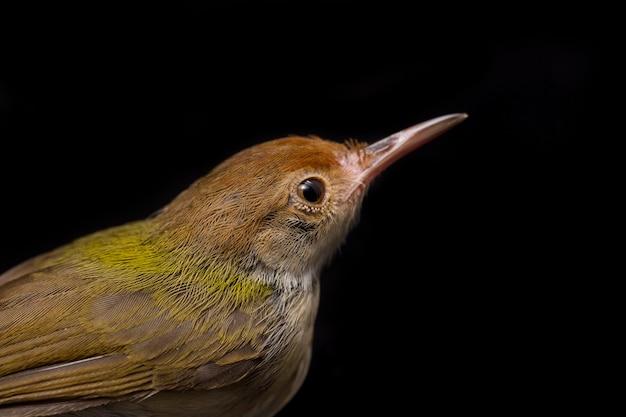 Bar gevleugelde prinia-vogel op zwarte achtergrond