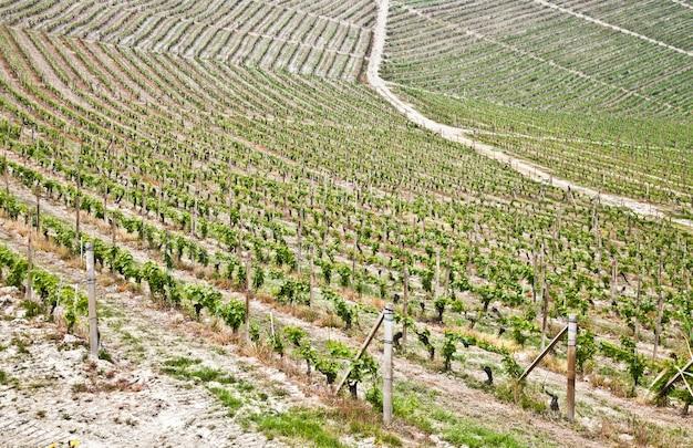 Barbera-wijngaard tijdens het lenteseizoen, monferrato-gebied, het gebied van piemonte, italië