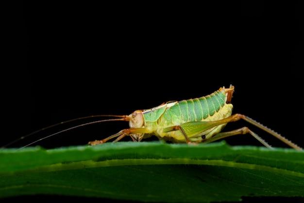 Barbitistes cricket macro tijdens de nacht