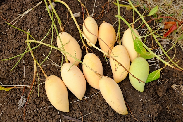 Barracuda mango plaats op aarde. oogstseizoen