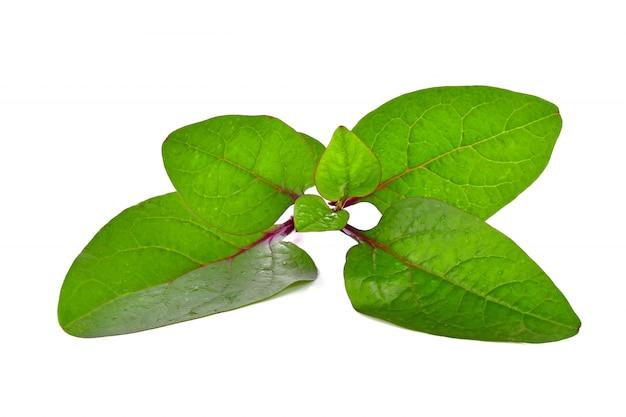 Basella alba of ceylon spinazie
