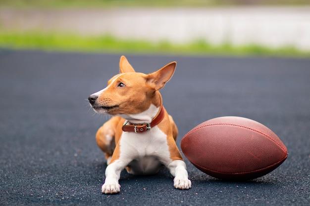 Basenji hond met een bal voor rugby