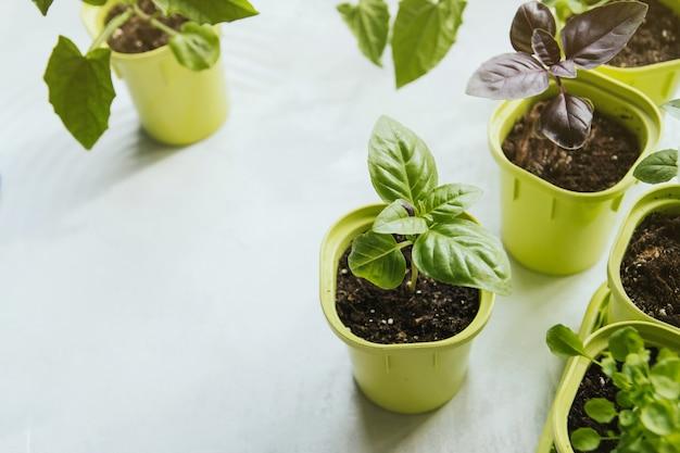 Basil zaailingen in groene plastic potten.