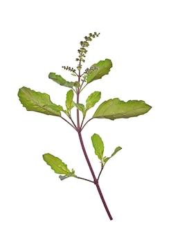 Basilicum bladeren geïsoleerd op wit.