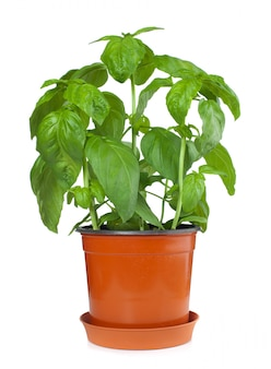 Basilicum plant in pot