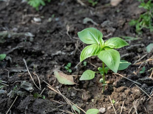 Basilicum spruit in de grond. ruimte kopiëren.