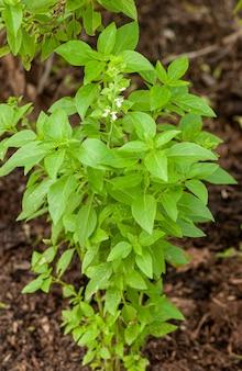 Basilicumplant die veel wordt gebruikt in de keuken en in de geneeskunde
