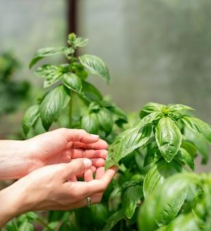 Basilicumplant in de tuin of kas. vrouw handen plukken verse basilicum in de kas