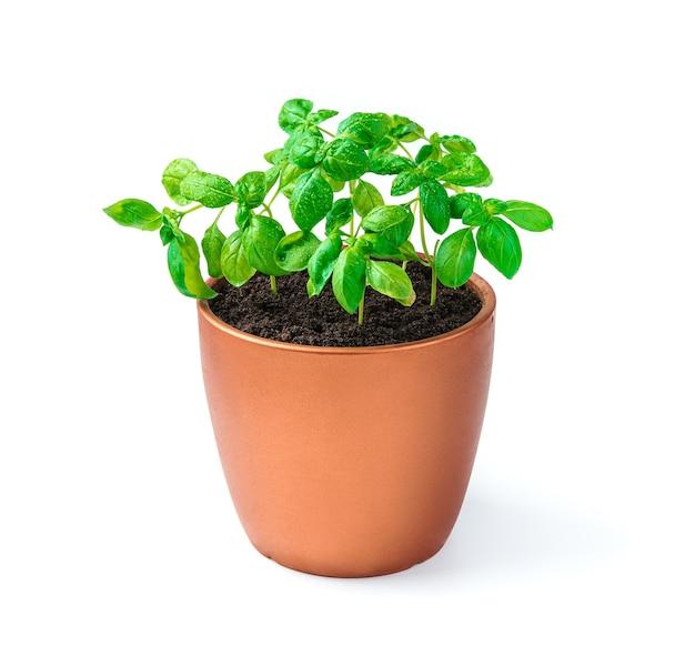 Basilicumspruiten in een pot op een wit zijaanzicht van het bureau