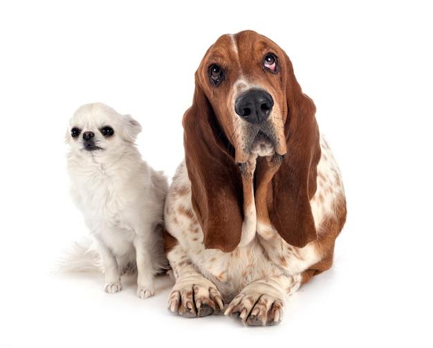Basset hond en chihuahua