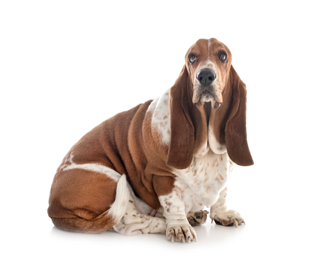 Basset hond