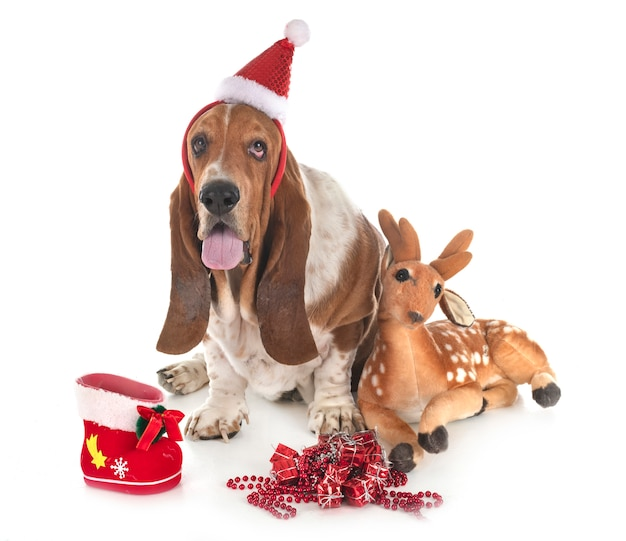 Basset hondenhond
