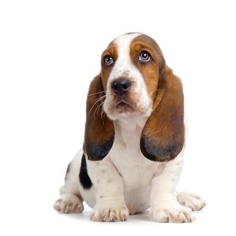 Basset hound puppy - hush puppies-geïsoleerd hondportret
