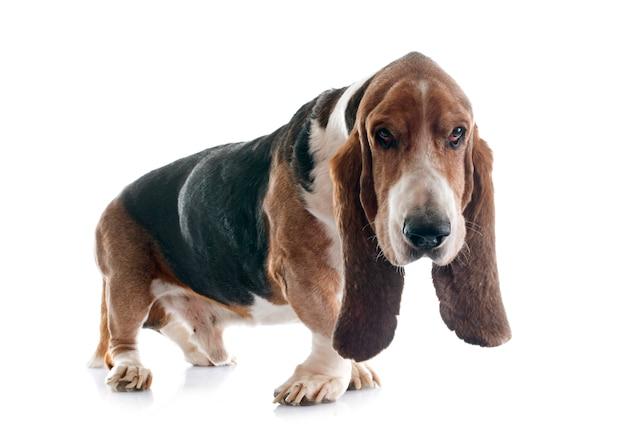 Basset hound