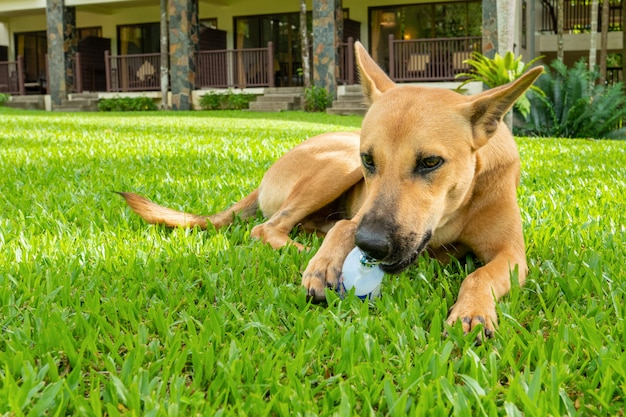 Bastaarde roodharigehond speelt op een groen gazon in de zomer op een zonnige heldere dag, knabbelt op een plastic fles