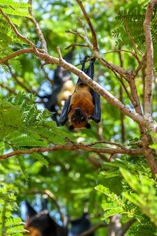 Bat (lyle's vliegende vos, pteropus lylei of pteropodidae) hangend hangend