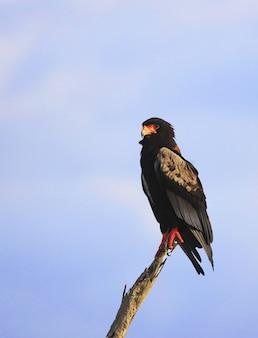 Bataleur adelaar