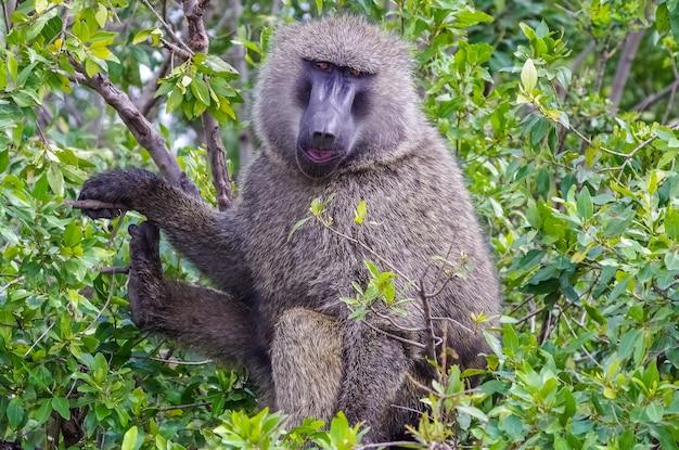 Baviaan in de jungle safari in afrika oeganda Premium Foto