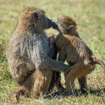 Baviaan in nationaal park van kenia, afrika