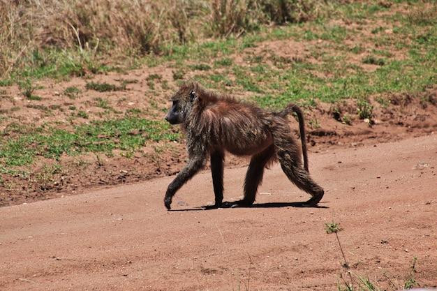 Baviaan op safari in kenia en tanzania, afrika