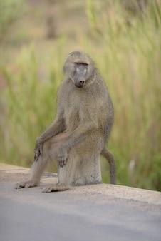 Baviaan zittend op een rots aan de kant van de weg