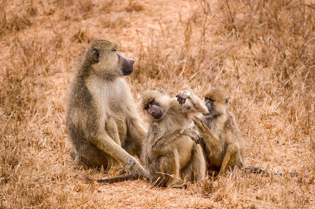 Baviaanfamilie in de jungle safari in afrika kenia