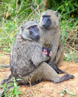 Baviaanfamilie in de jungle safari in afrika oeganda