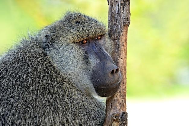 Bavianen in de natuurlijke habitat. afrika. kenia.