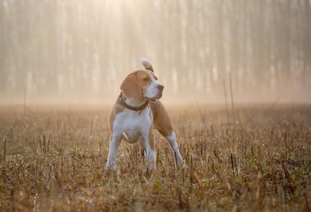 Beagle beagle hond op een wandeling in het bos in de lentemorgen in de dichte mist bij dawndog op een wandeling in de mist