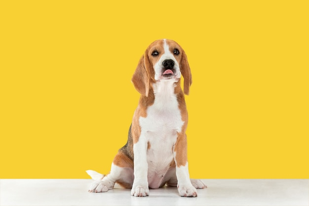 Beagle driekleurige pup is poseren