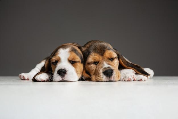 Beagle driekleurige puppy's poseren. leuke wit-bruin-zwarte hondjes of huisdieren die op grijze achtergrond spelen.